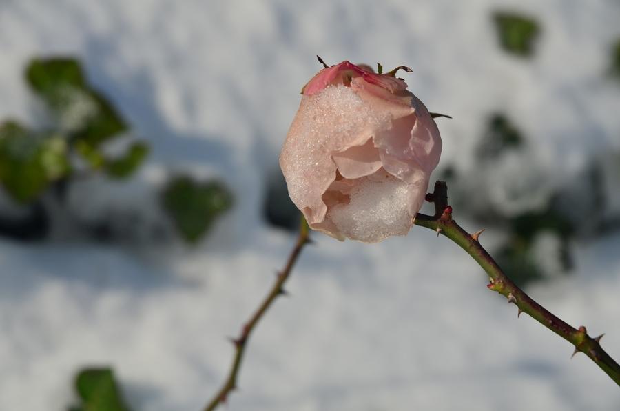 rose-schnee-klein